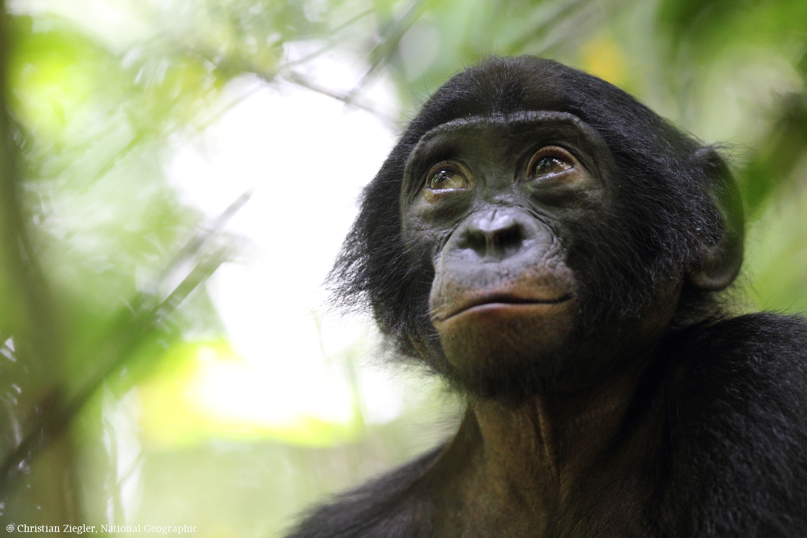 bonobo facts  history  useful information and amazing pictures