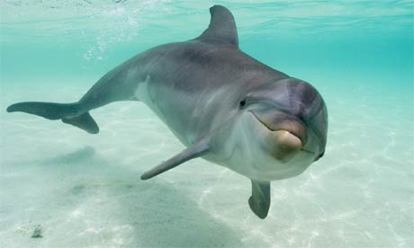 Bottlenose Dolphin Facts, History, Useful Information and Amazing ...