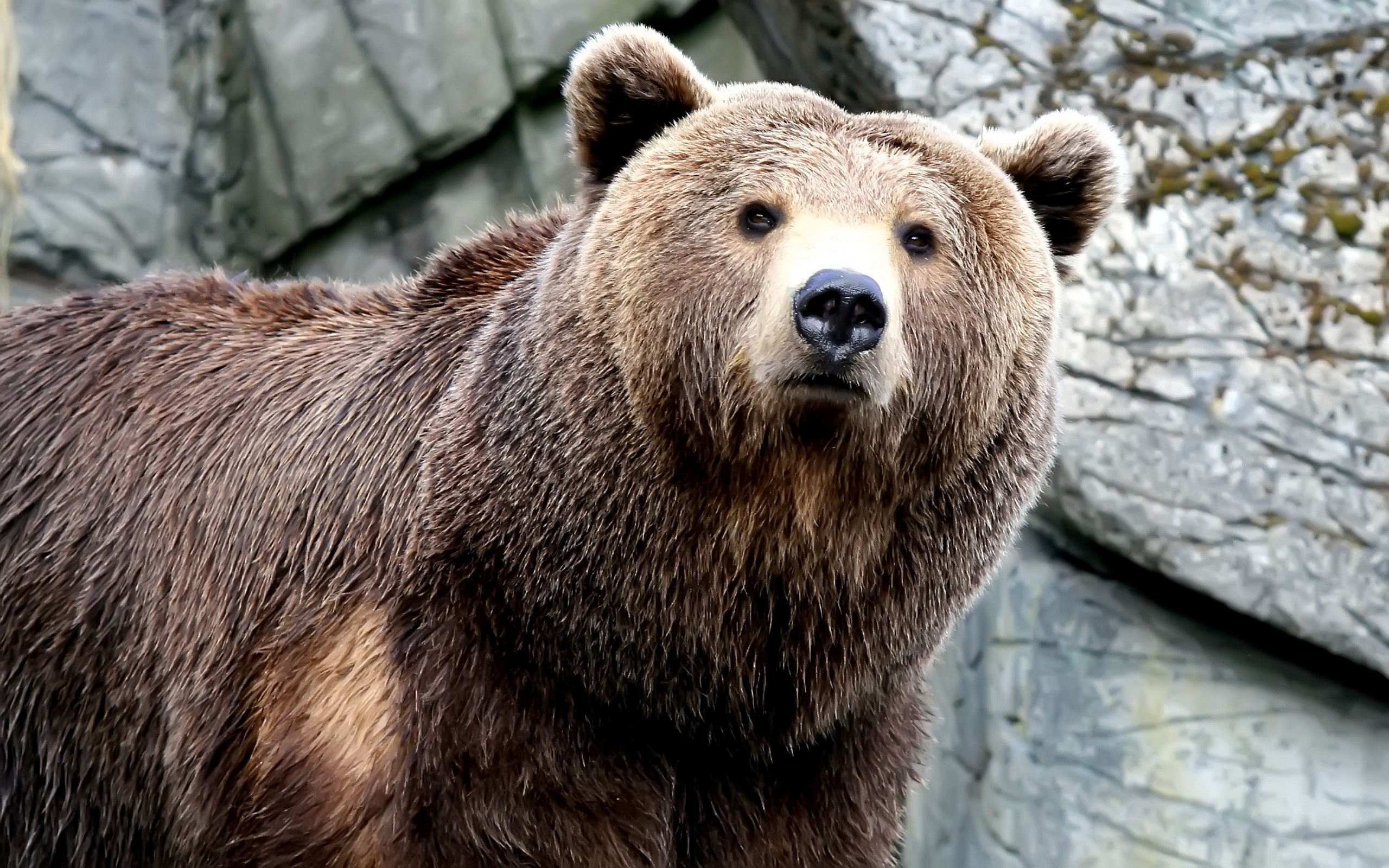 brown bear facts history useful information and amazing pictures