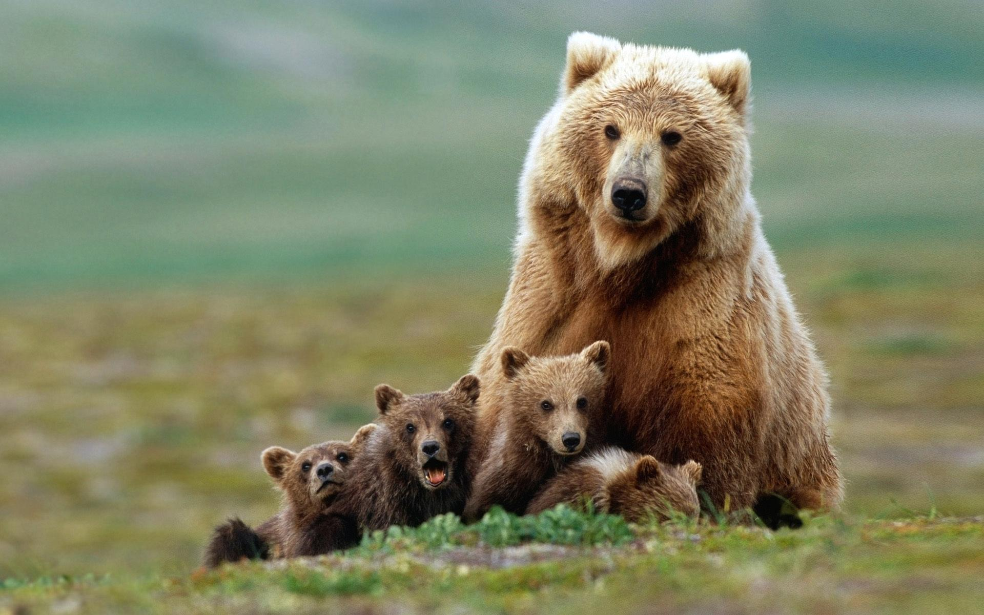Brown Bear Facts, History, Useful Information and Amazing Pictures