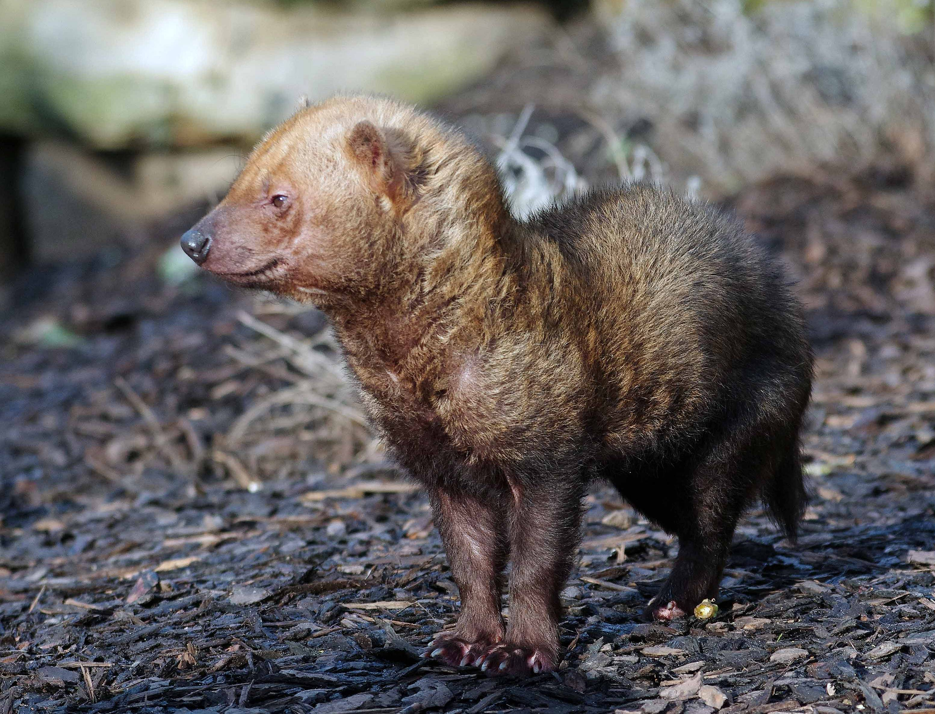Bush Dog Facts History Useful Information And Amazing