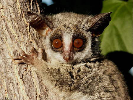 Bushbaby Facts, History, Useful Information and Amazing ...