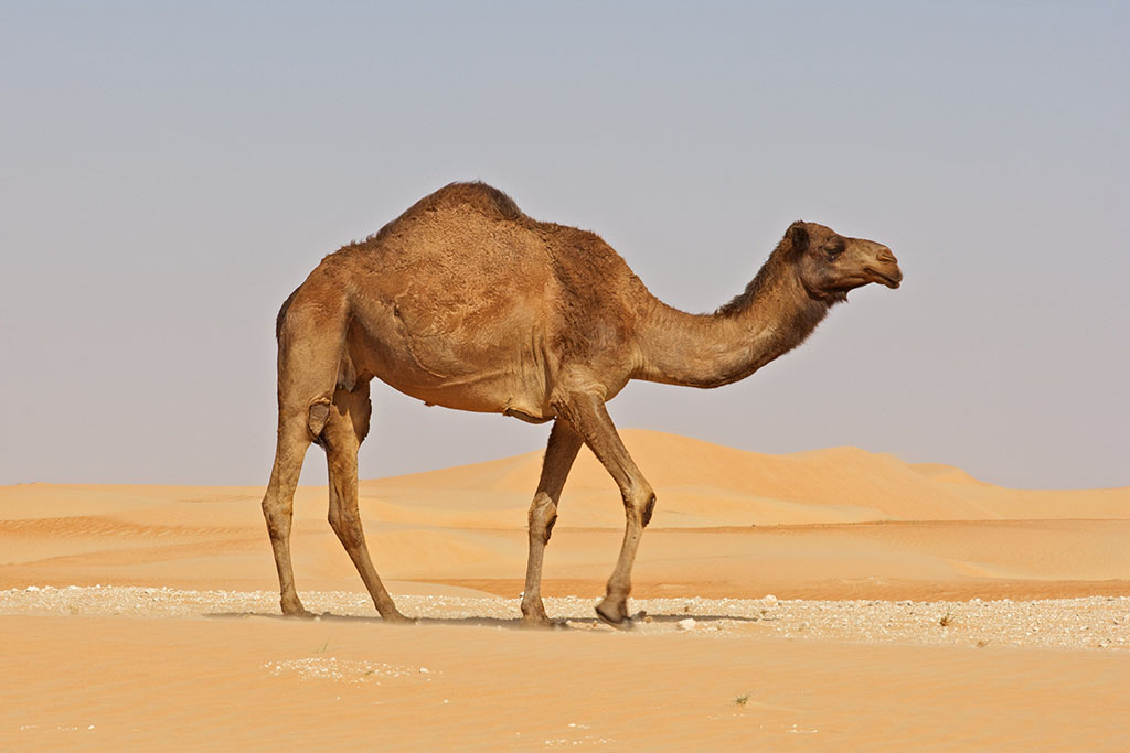 essay on desert animal camel Shop for camel desert animal on etsy, the place to express your creativity through the buying and selling of handmade and vintage goods.