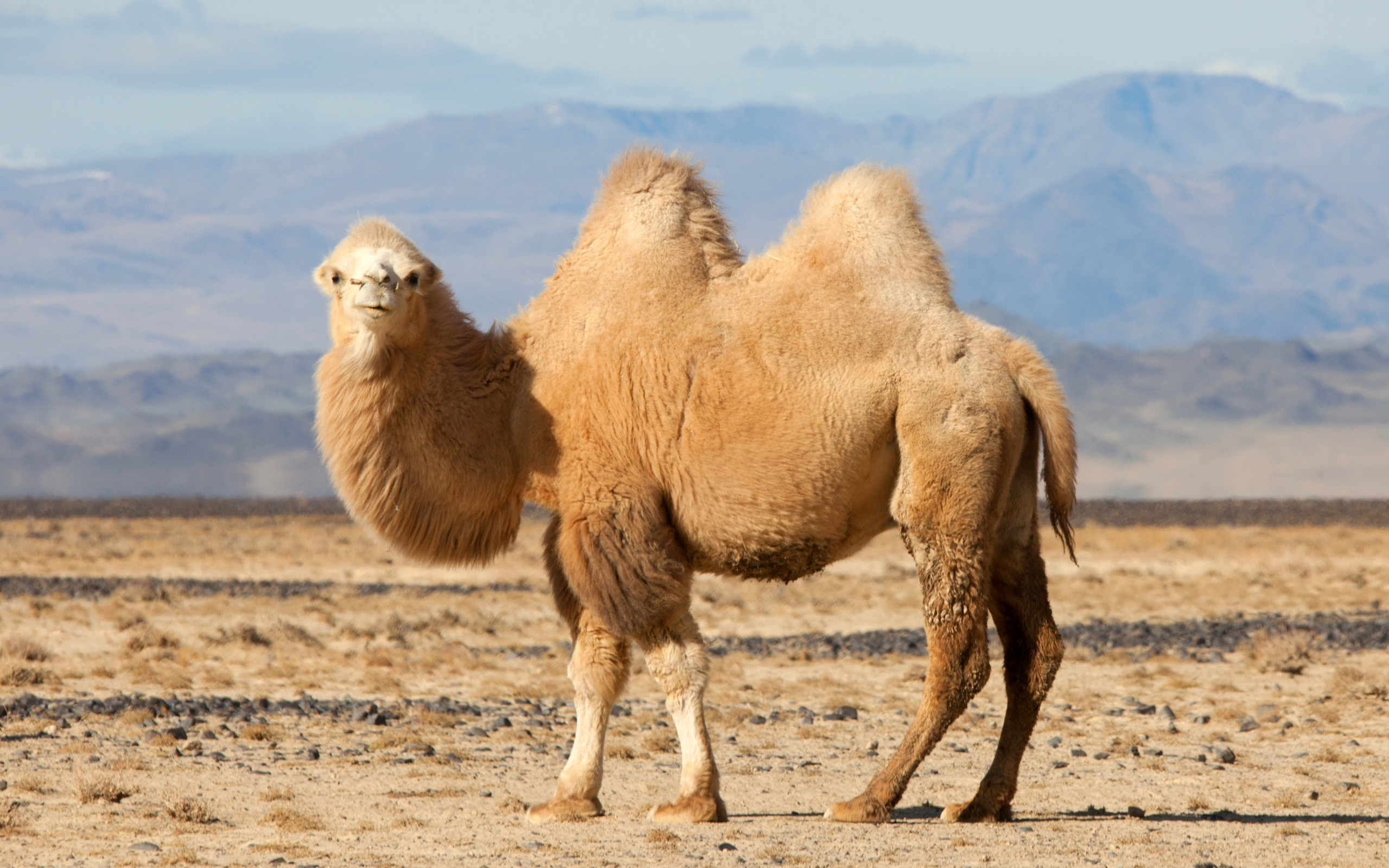 Image result for Bactrian camel