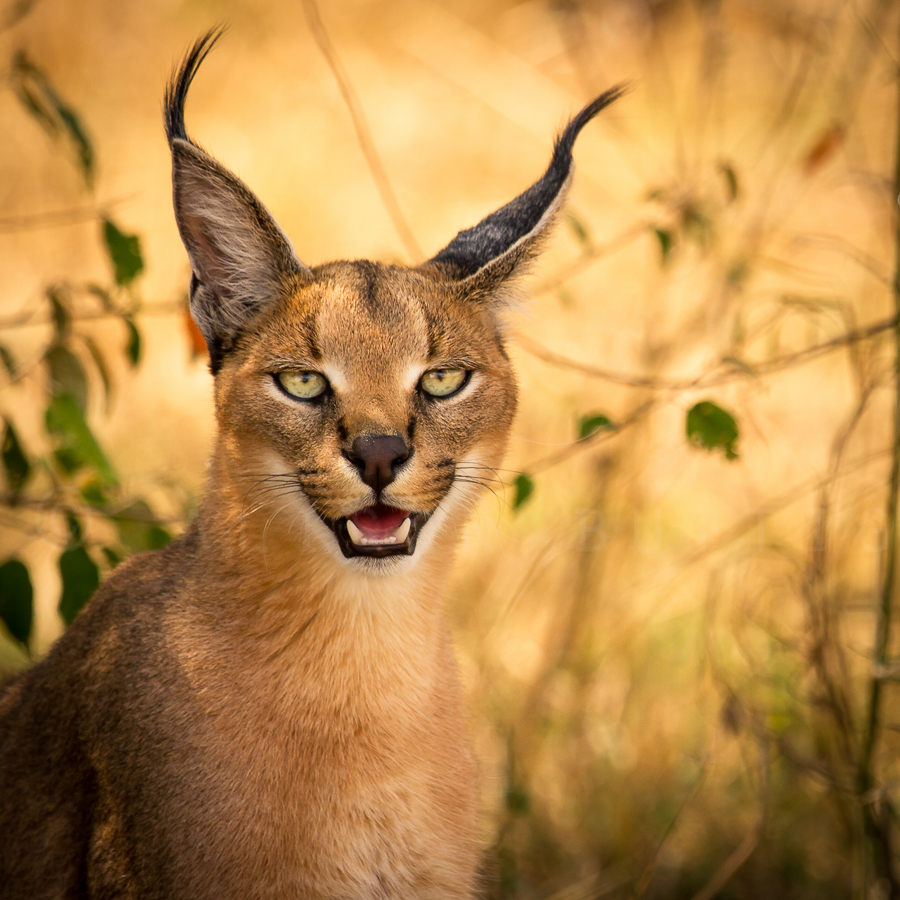 caracal facts history useful information and amazing