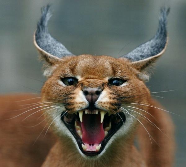 Caracal cat - photo#12