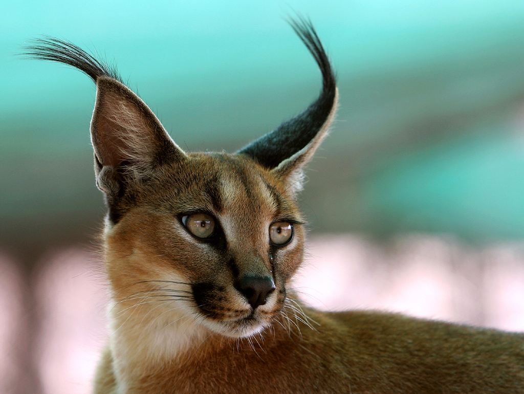 Caracal (cat): description of the breed, photo 21