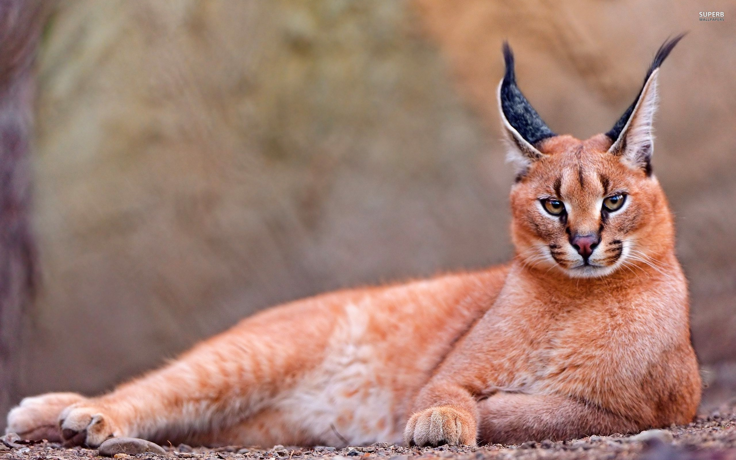 Caracal (cat): description of the breed, photo 64