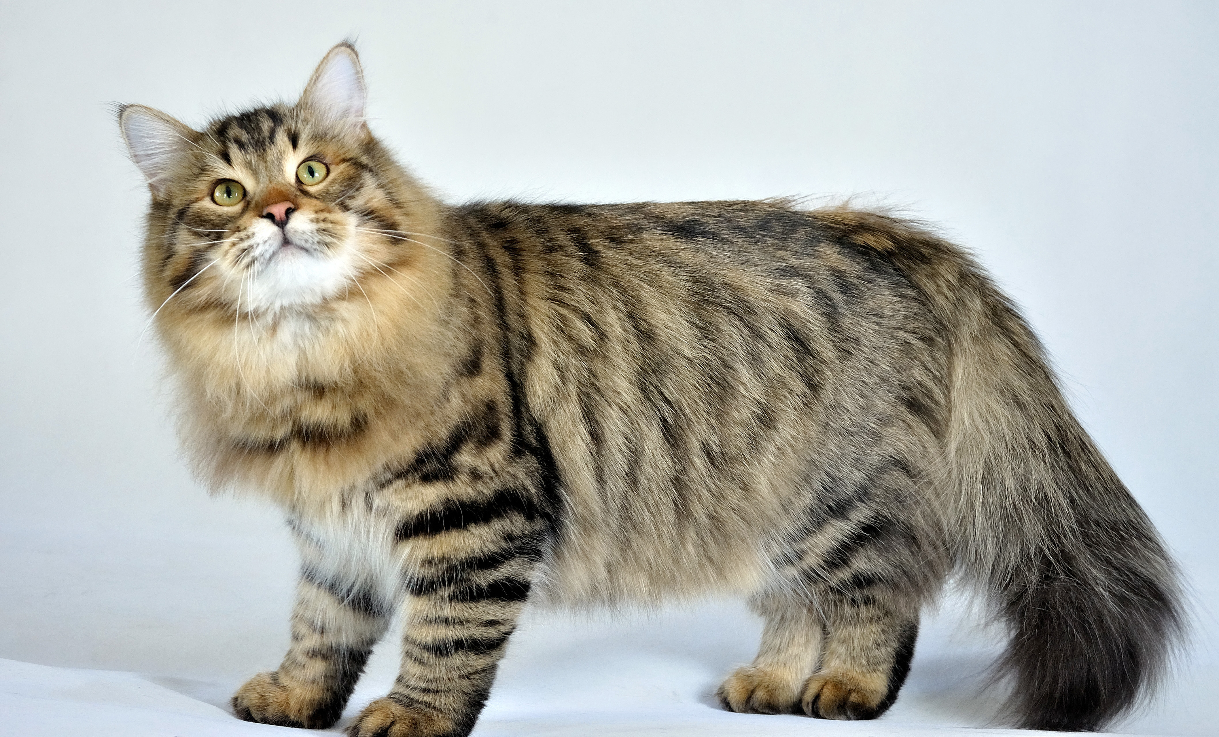Cat Facts, History, Useful Information and Amazing Pictures