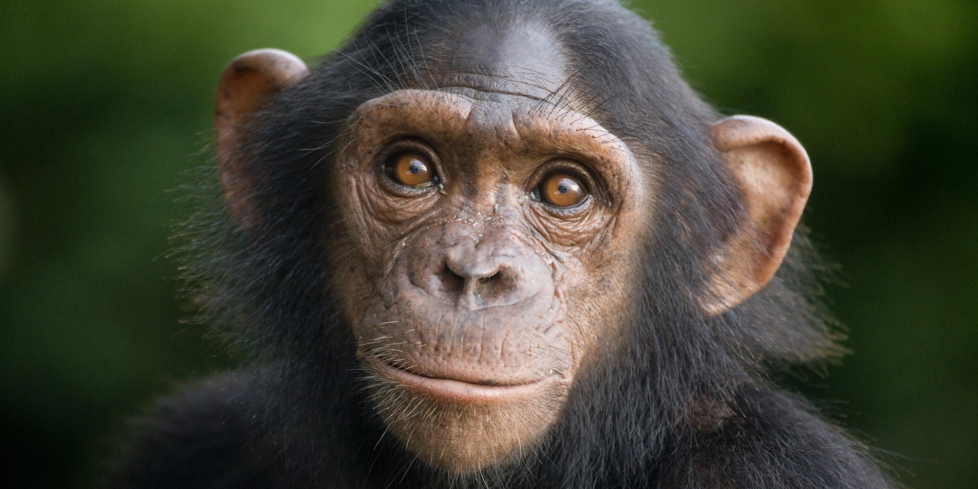 chimpanzee facts history useful information and amazing