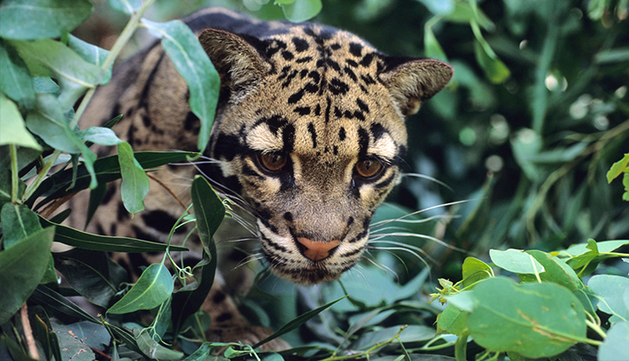 the clouded leopard A male clouded leopard is the first of its rare species born from a new type of artificial insemination procedure.