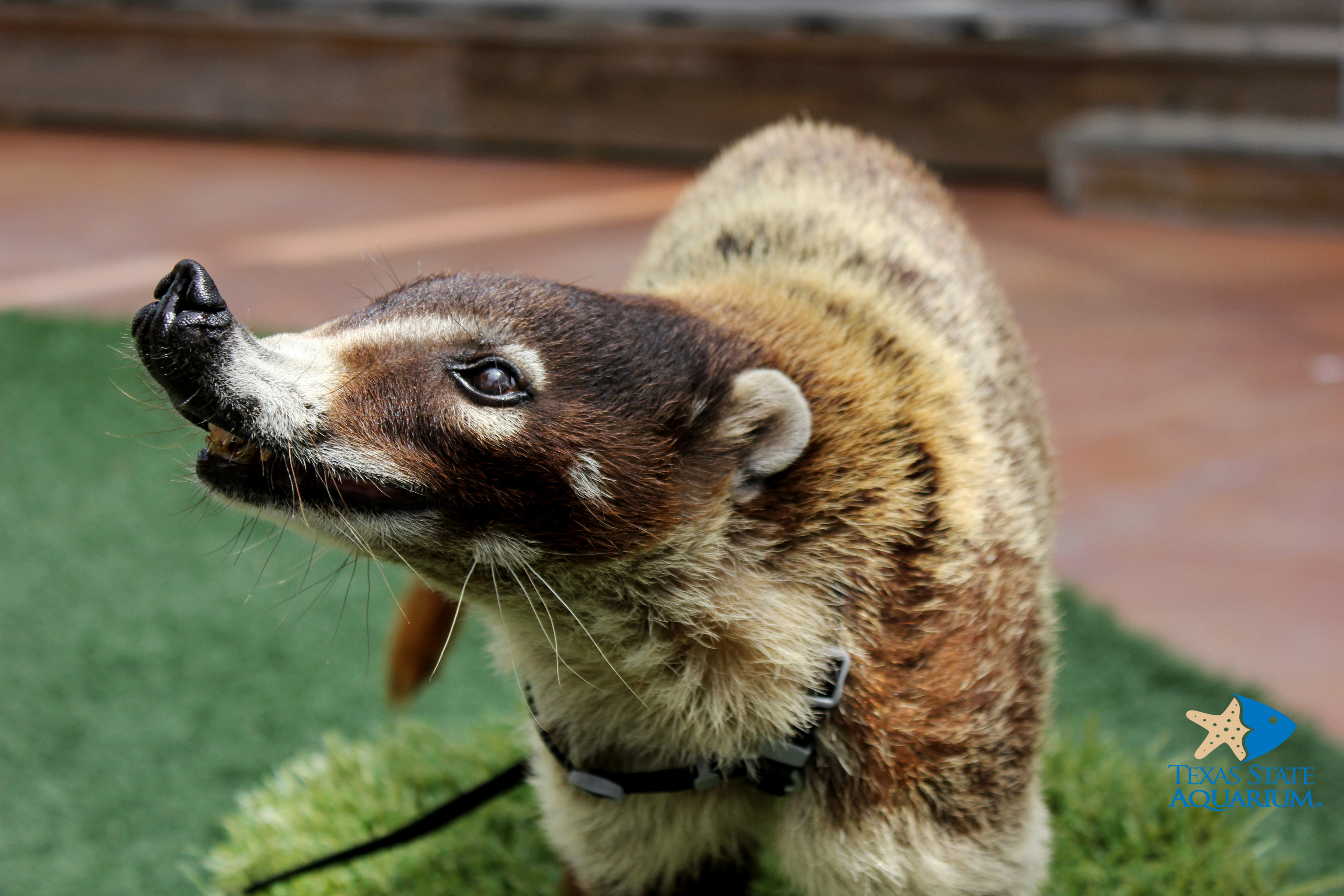 Coati Facts History Useful Information And Amazing Pictures