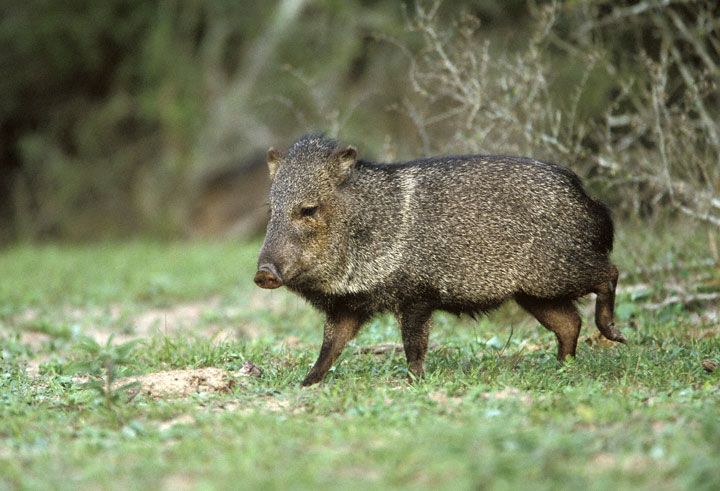 Collared Peccary Facts History Useful Information And