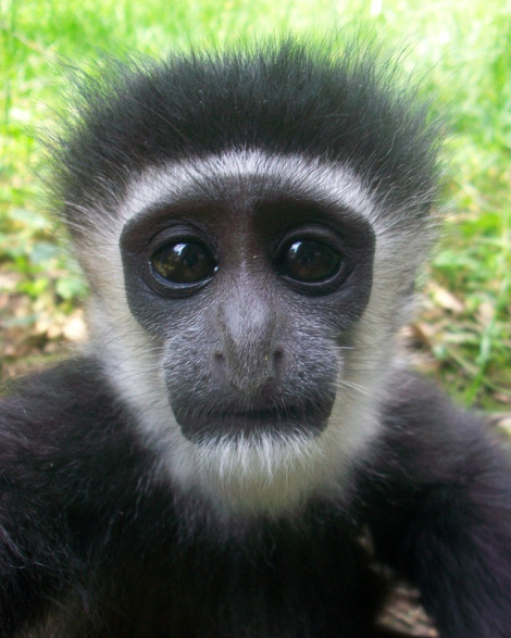 Colobus Monkey Facts History Useful Information And