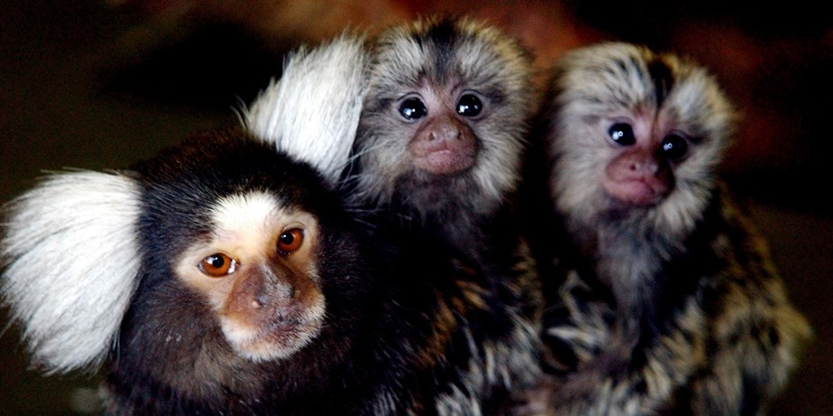 Soft Cat Food >> Common Marmoset Facts, History, Useful Information and ...