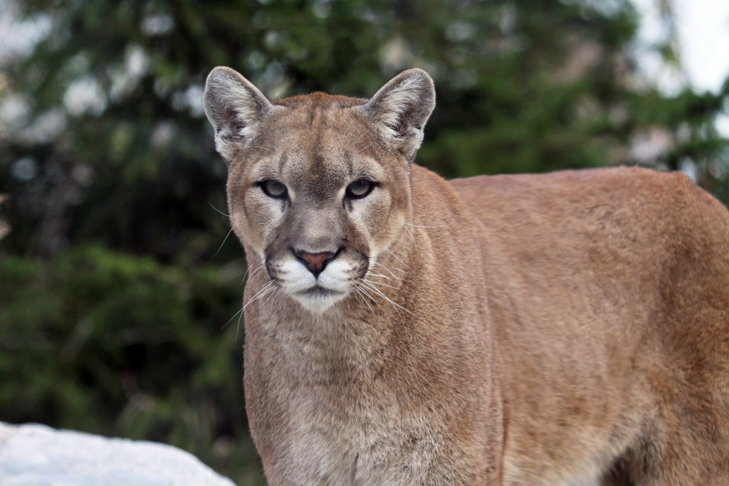 cougar facts history useful information and amazing pictures