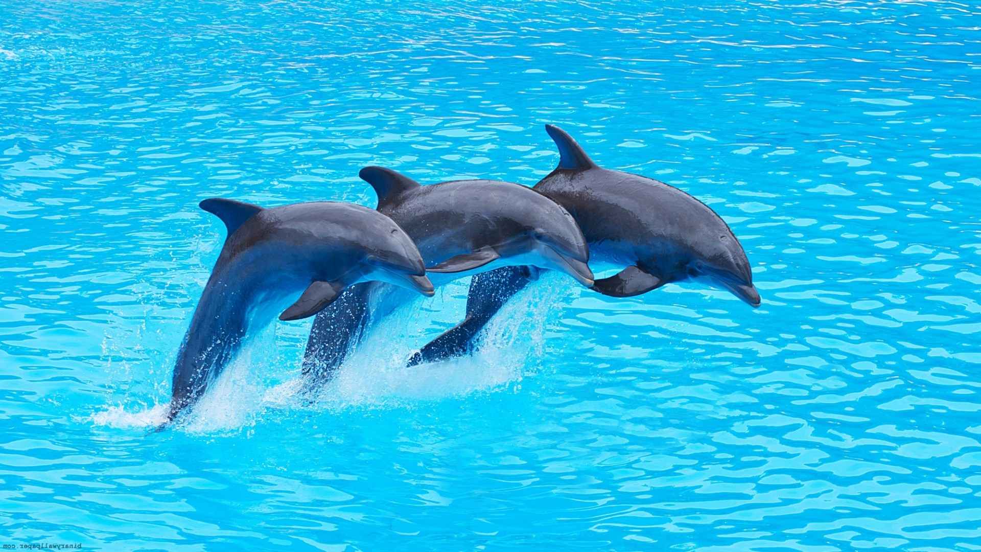 dolphin facts history useful information and amazing pictures