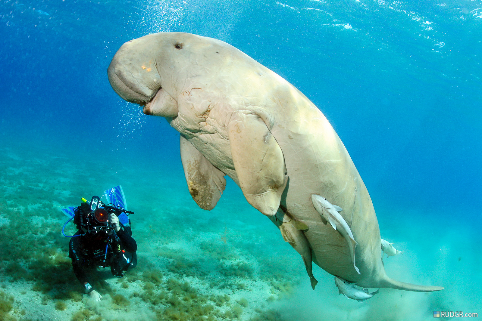 dugong facts history useful information and amazing pictures