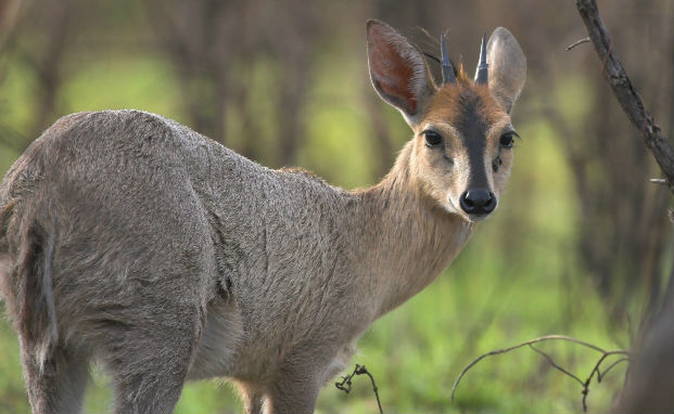 Duiker Facts History Useful Information And Amazing Pictures