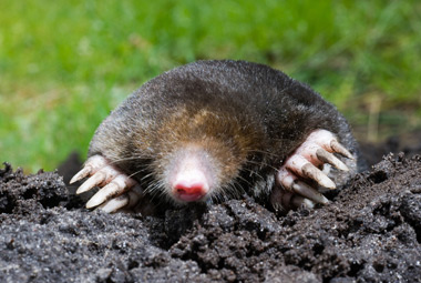 Eastern Mole Facts, History, Useful Information and ... Eastern Mole