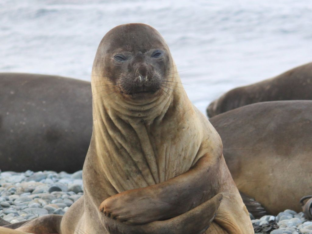 Elephant Seal Facts History Useful Information And