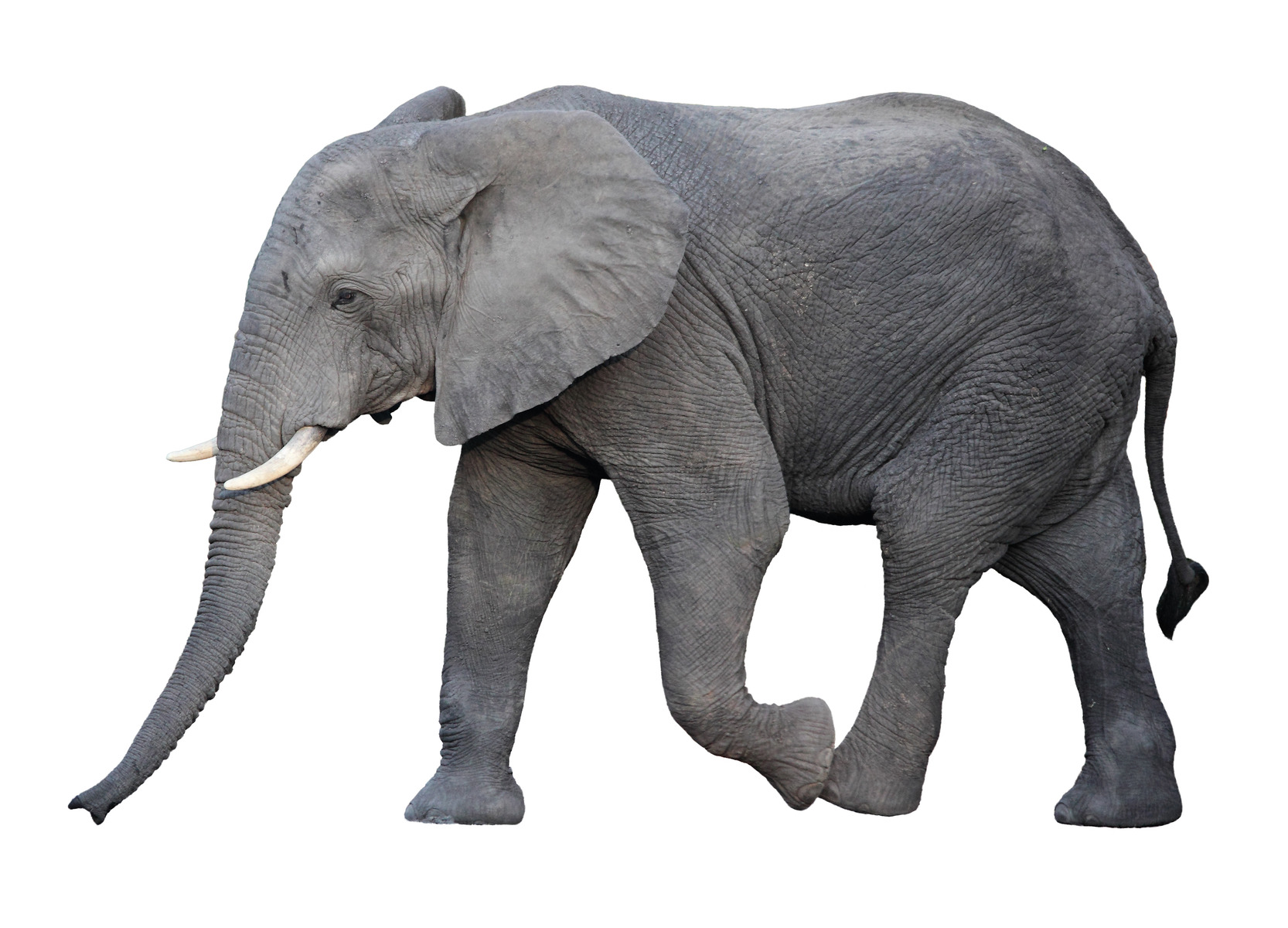Elephant adults only similar. And