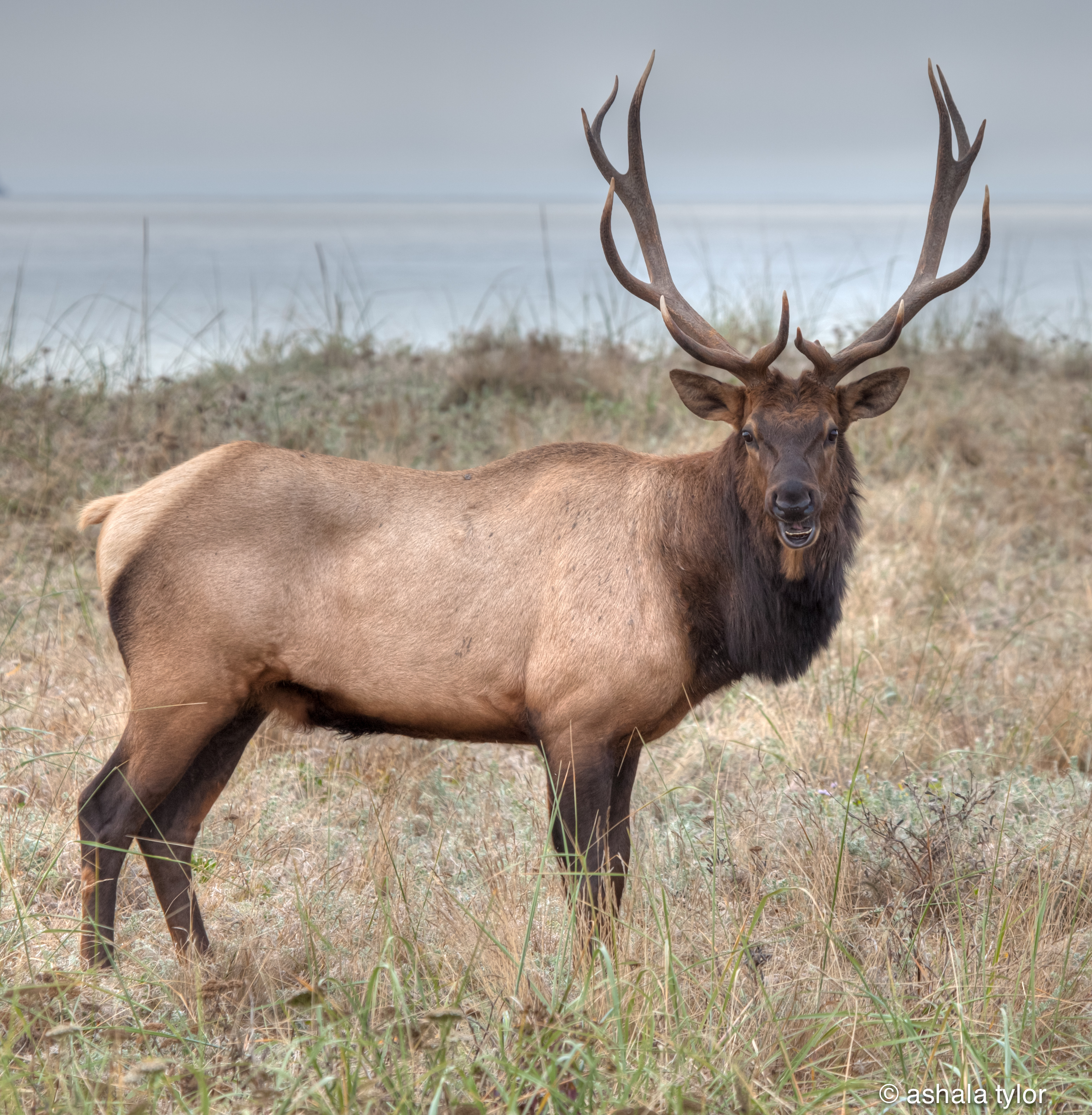 Image result for Elk