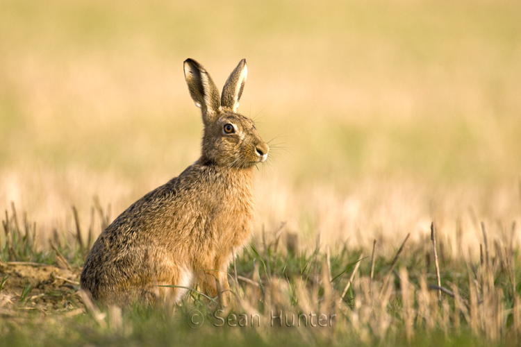 European Hare Facts History Useful Information And