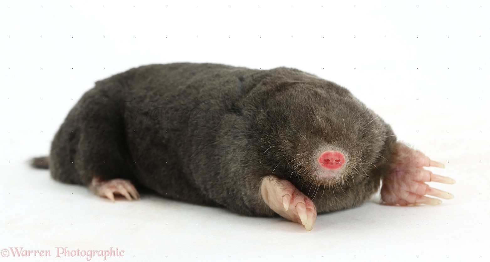European Mole Facts History Useful Information And