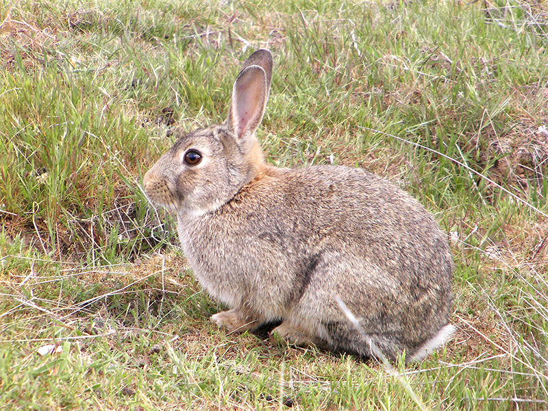 european rabbit facts history useful information and