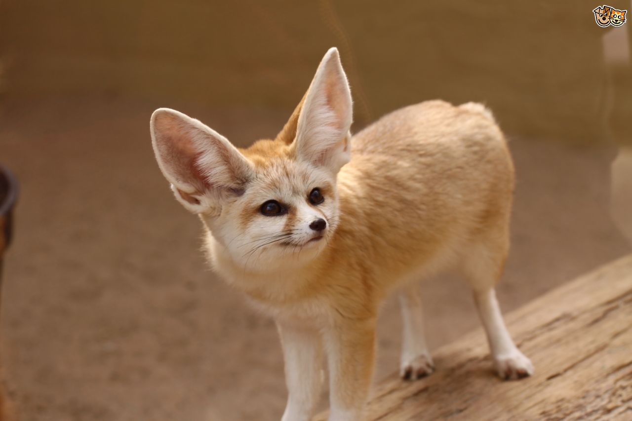 Fennec Fox Facts, Hist...