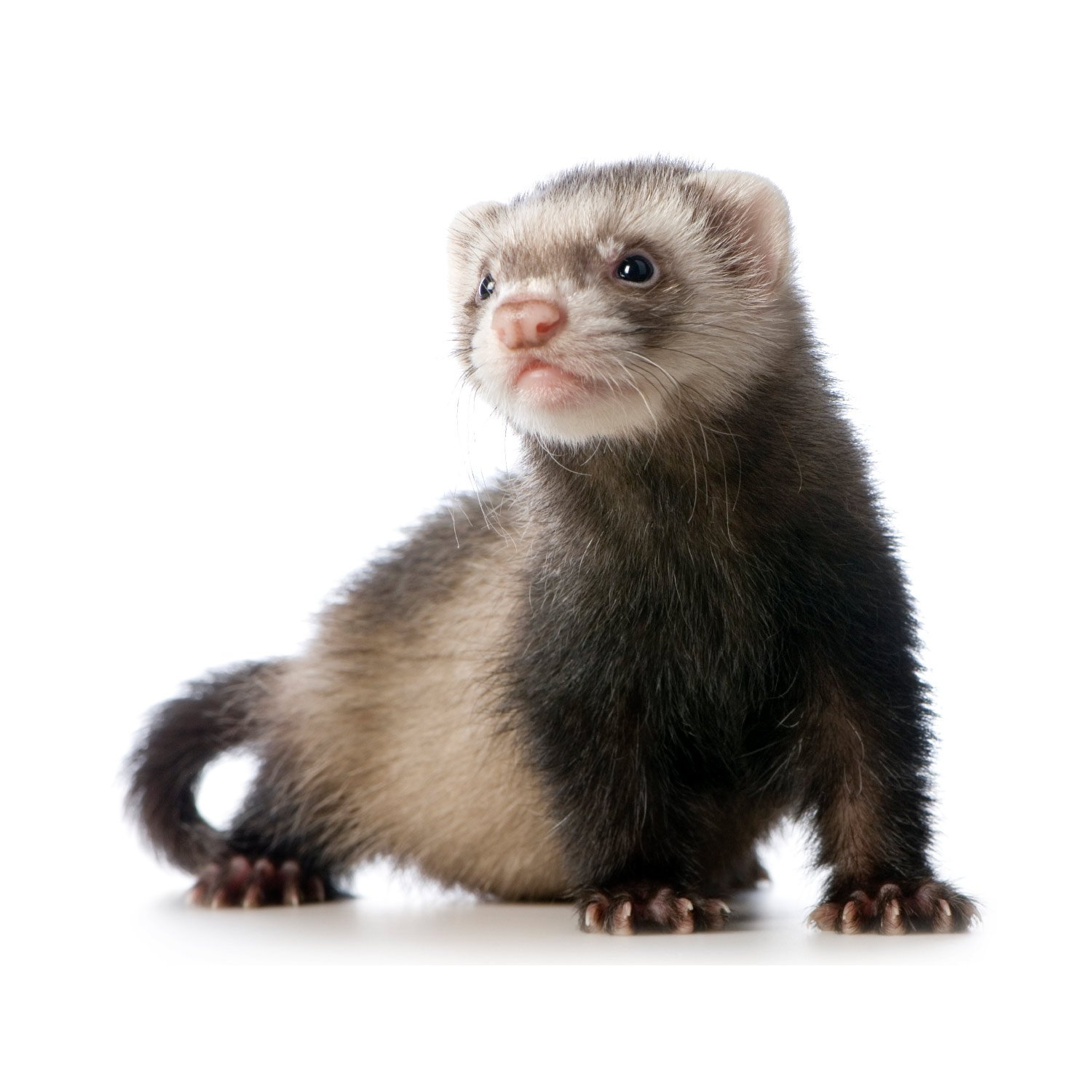 ferret facts history useful information and amazing pictures