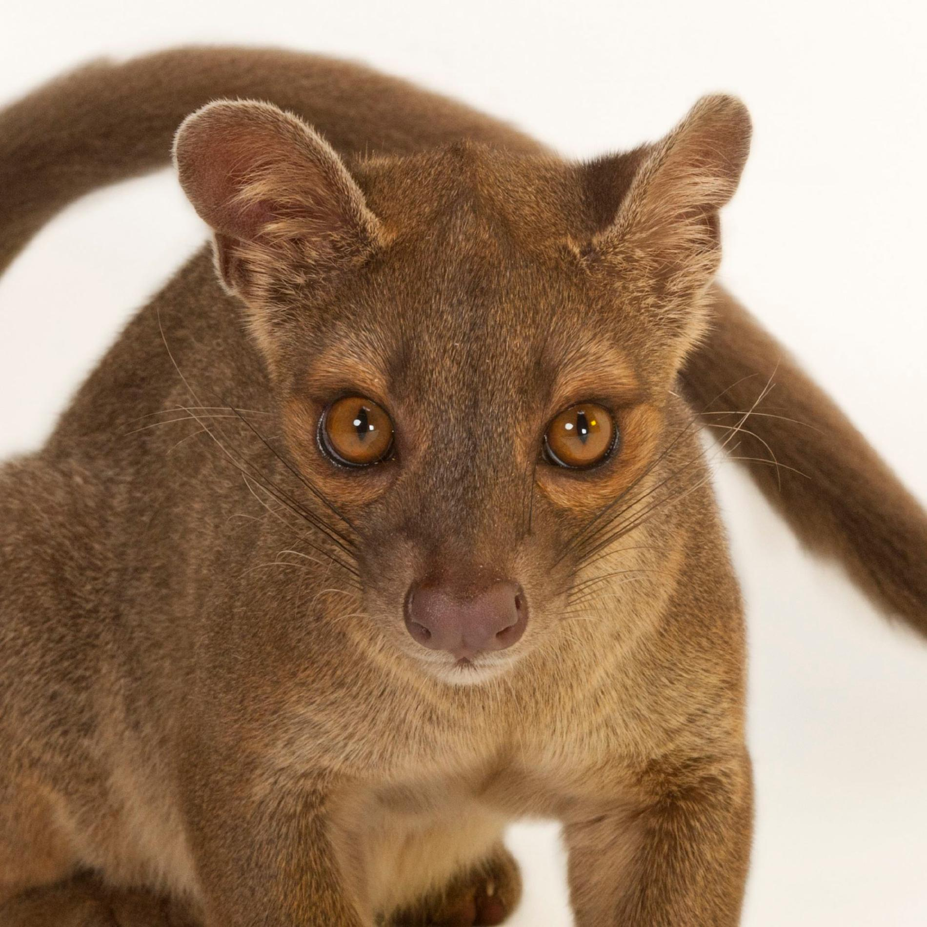 Fossa Facts, History, Useful Information And Amazing Pictures