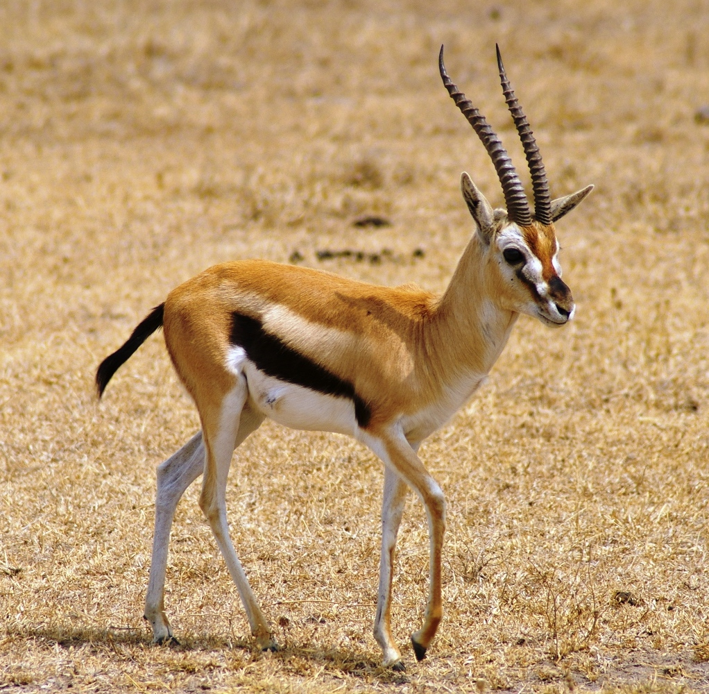 Gazelle facts history useful information and amazing for Gazelle cuisine