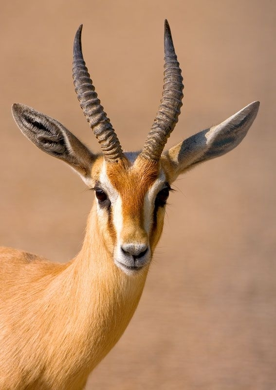 gazelle facts history useful information and amazing
