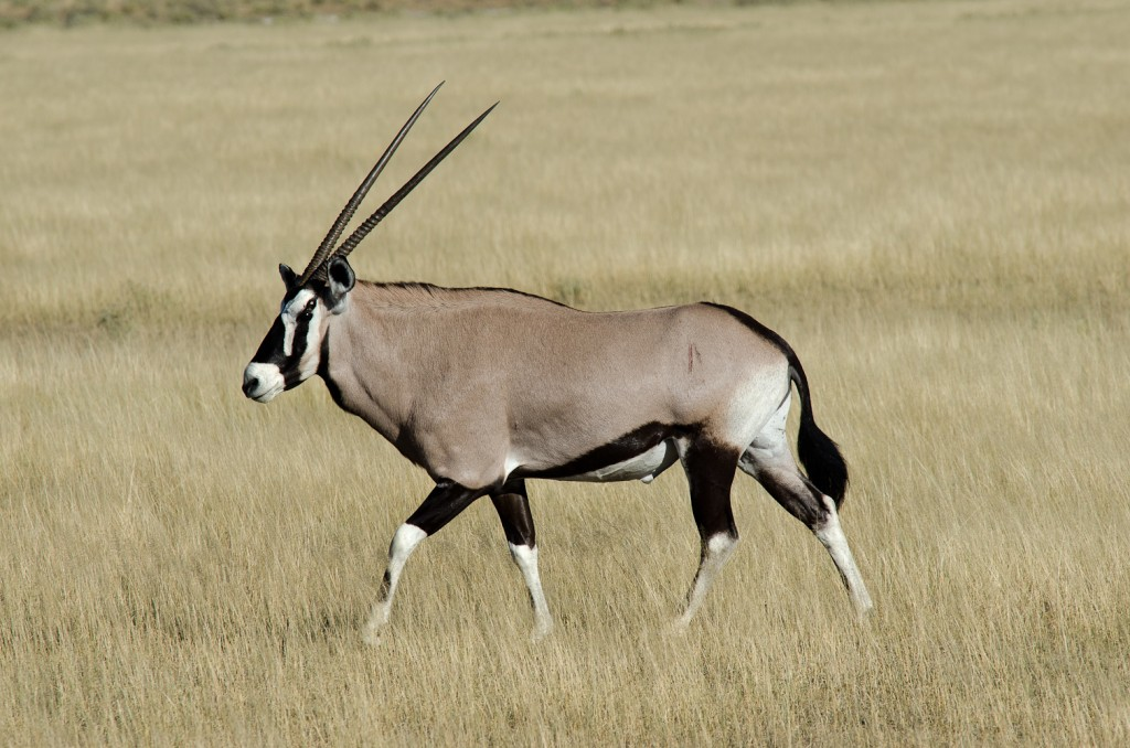 Gemsbok Facts, History...