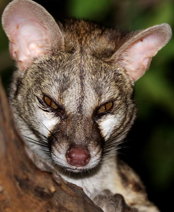 Genet Facts History Useful Information And Amazing Pictures