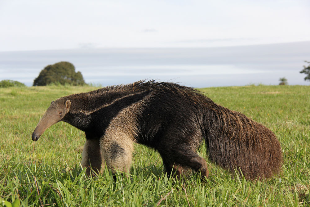 Giant Anteater Facts, ...