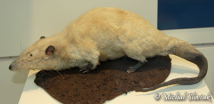 Giant Otter Shrew