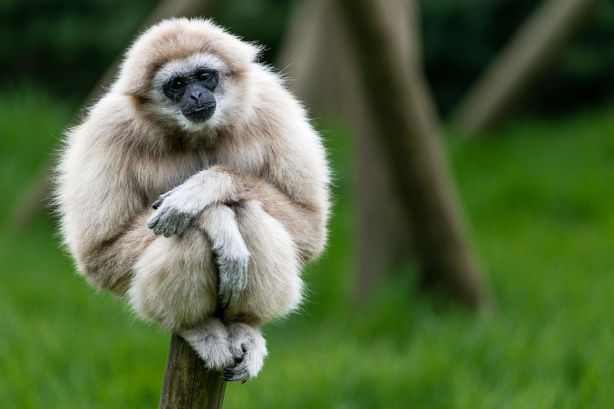 gibbon facts history useful information and amazing pictures