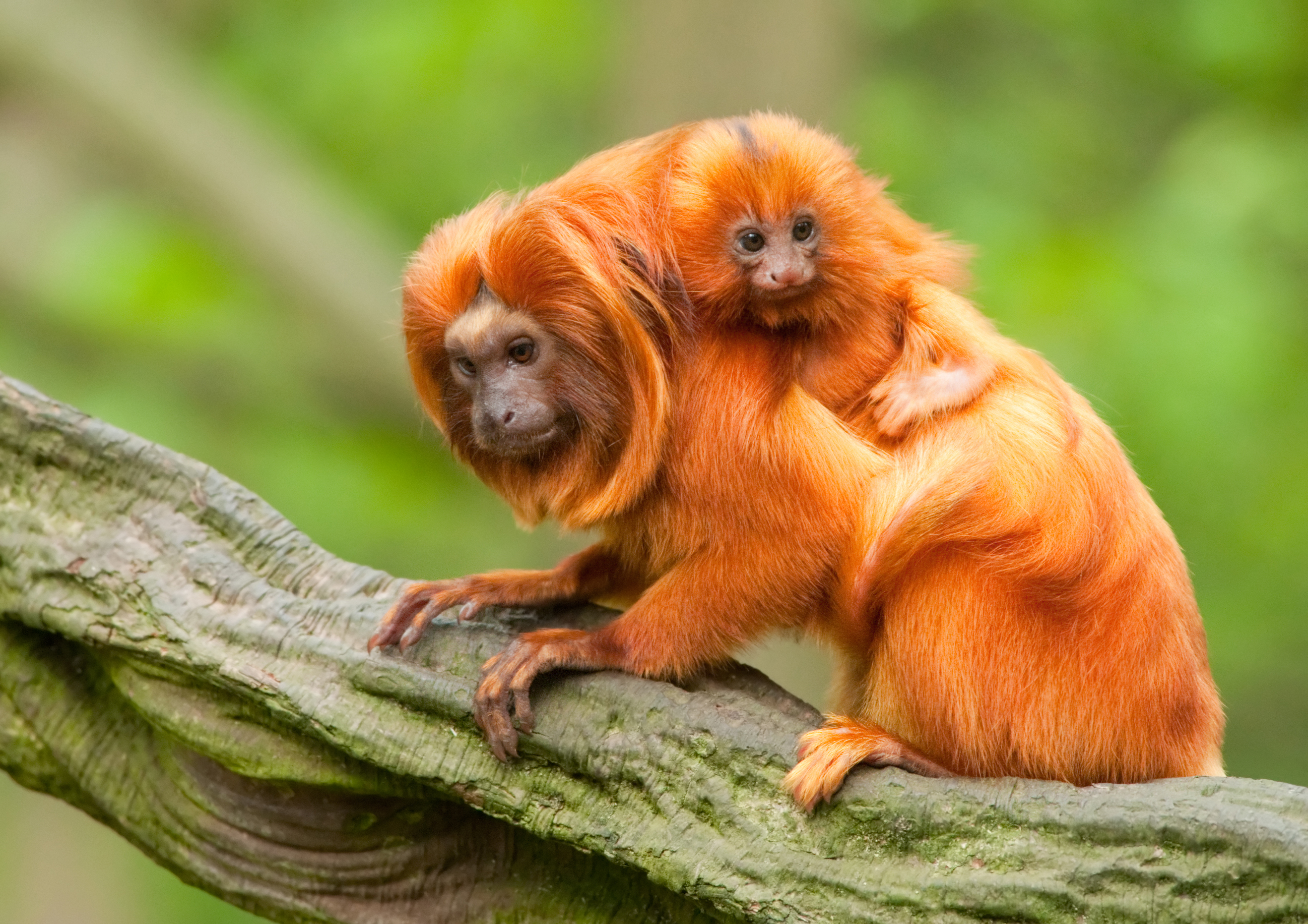 Golden Lion Tamarin Facts, History, Useful Information and ...