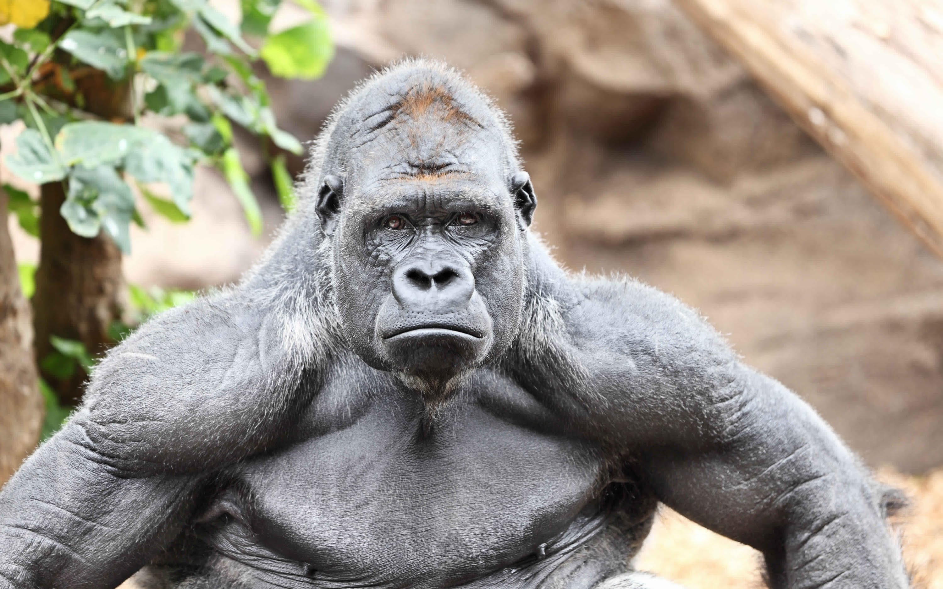 Gorilla Facts, History, Useful Information and Amazing ...