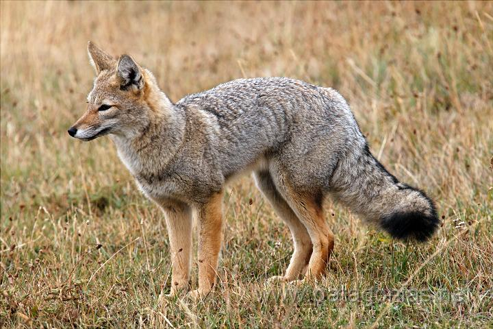 grey fox facts history useful information and amazing