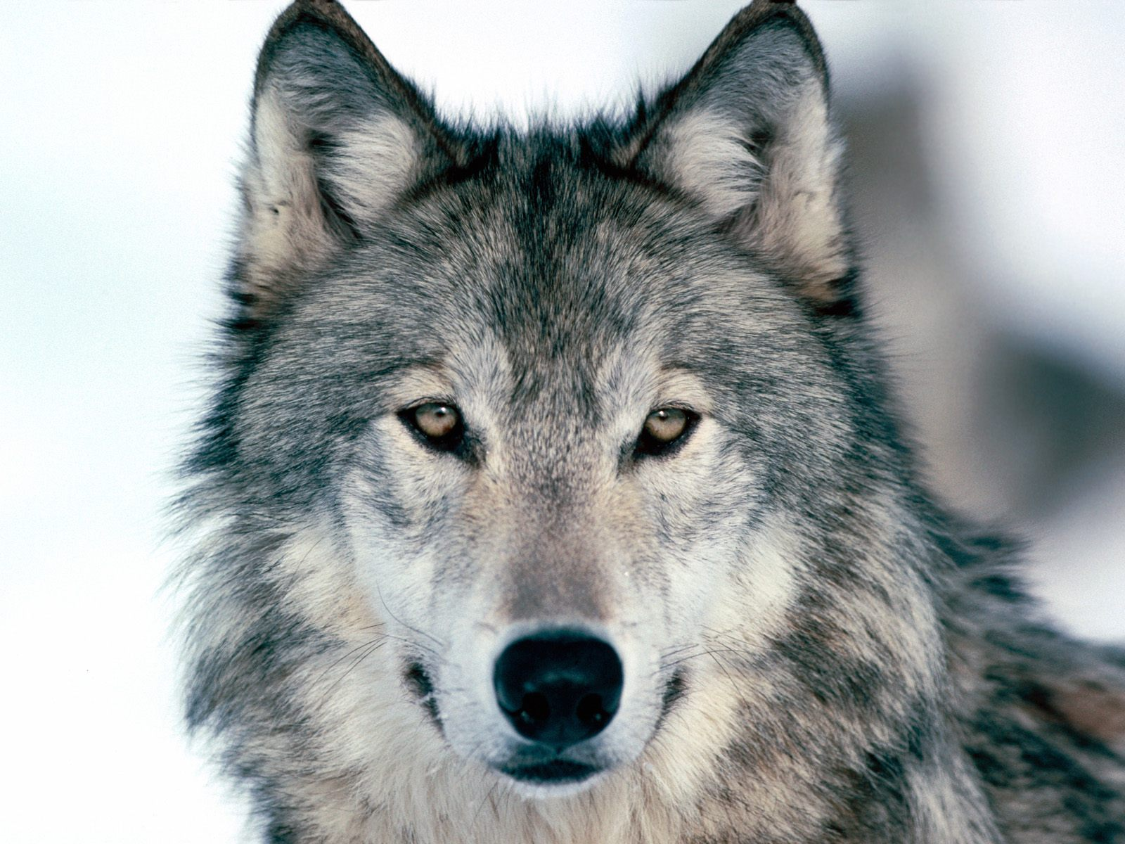 Wolves: Grey Wolf Facts, History, Useful Information And Amazing