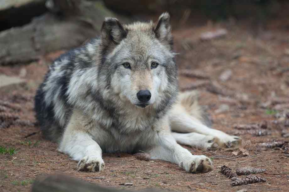 Grey Wolf Facts, History, Useful Information and Amazing ...