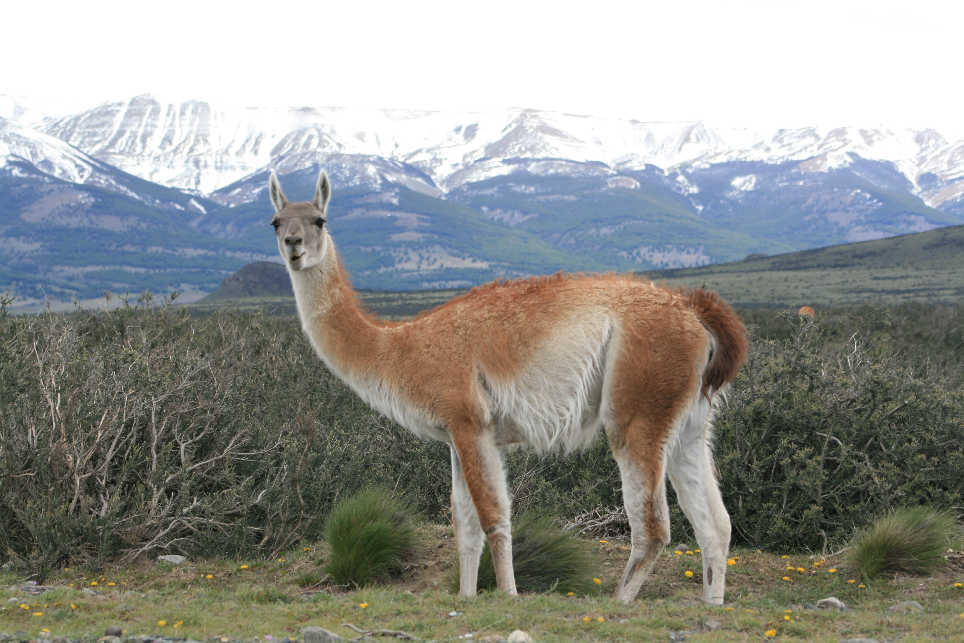 guanaco facts history useful information and amazing