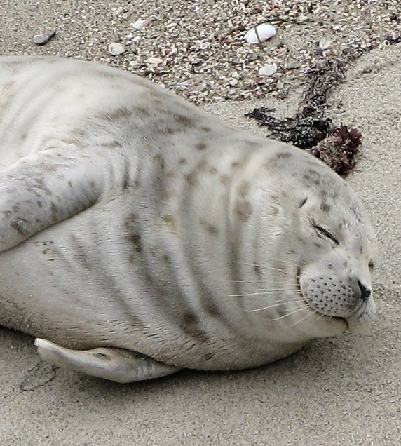 harbour seal picture