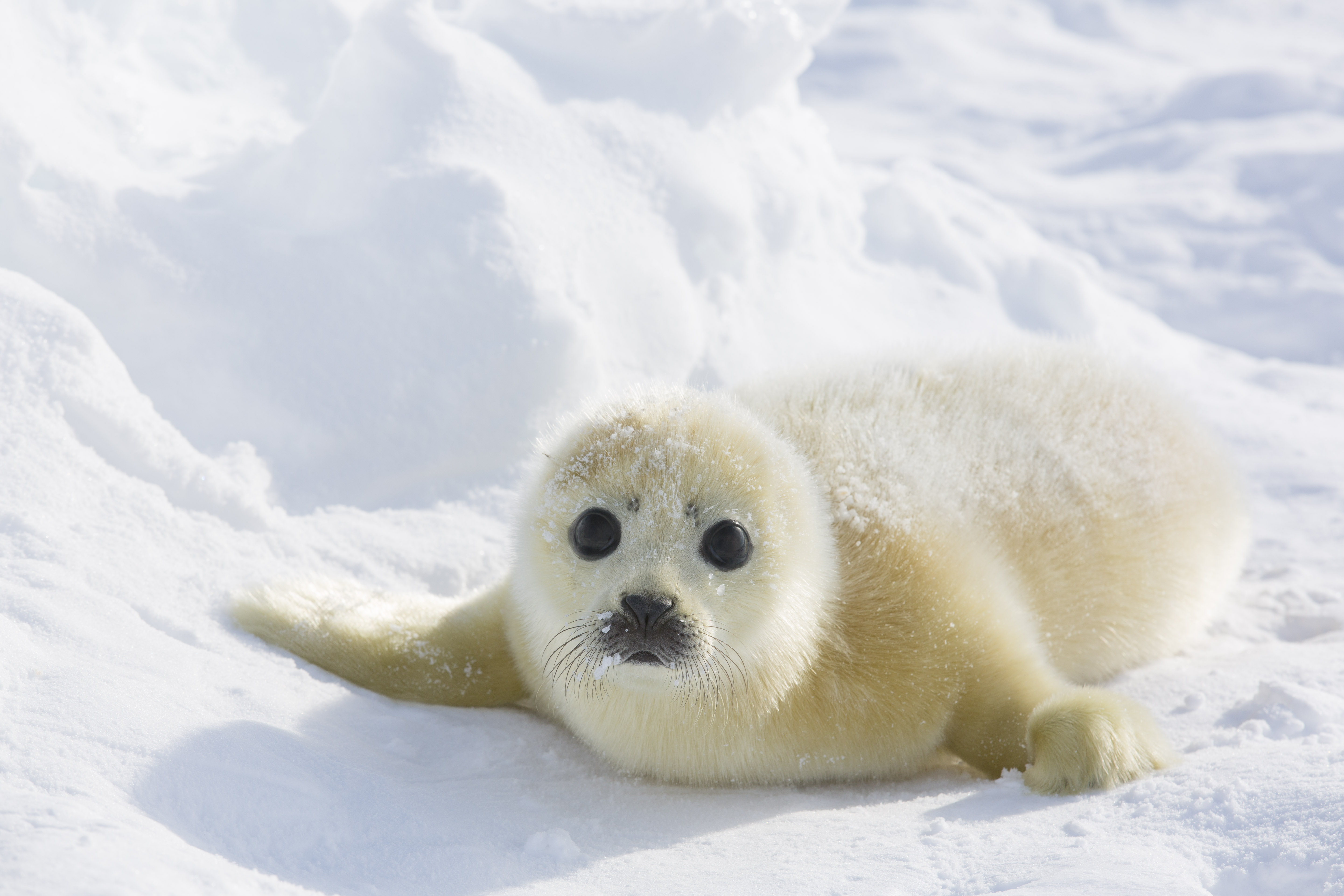 Harp Seal Facts, History, Useful Information and Amazing ...