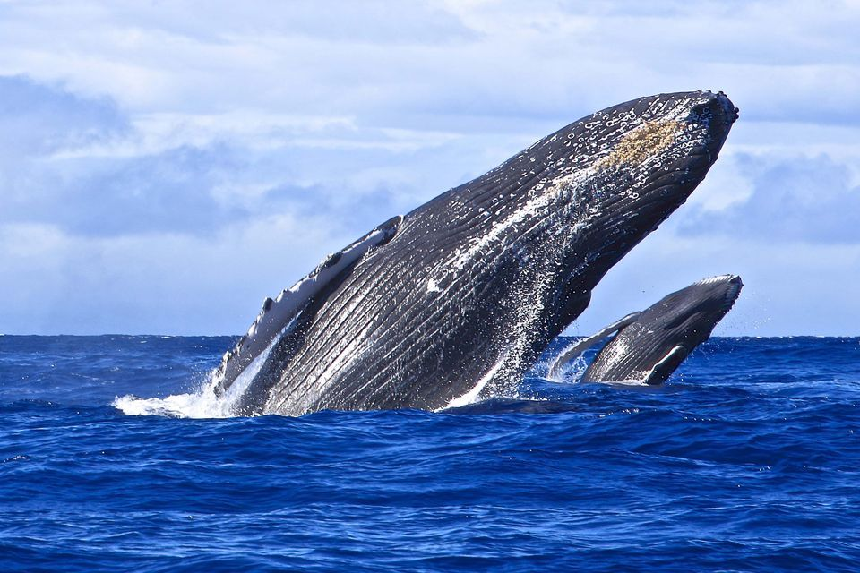 a study of the hump back whale A study that looked at where humpback whales give birth along the coast of   the research by imas phd student lyn irvine, published in the.