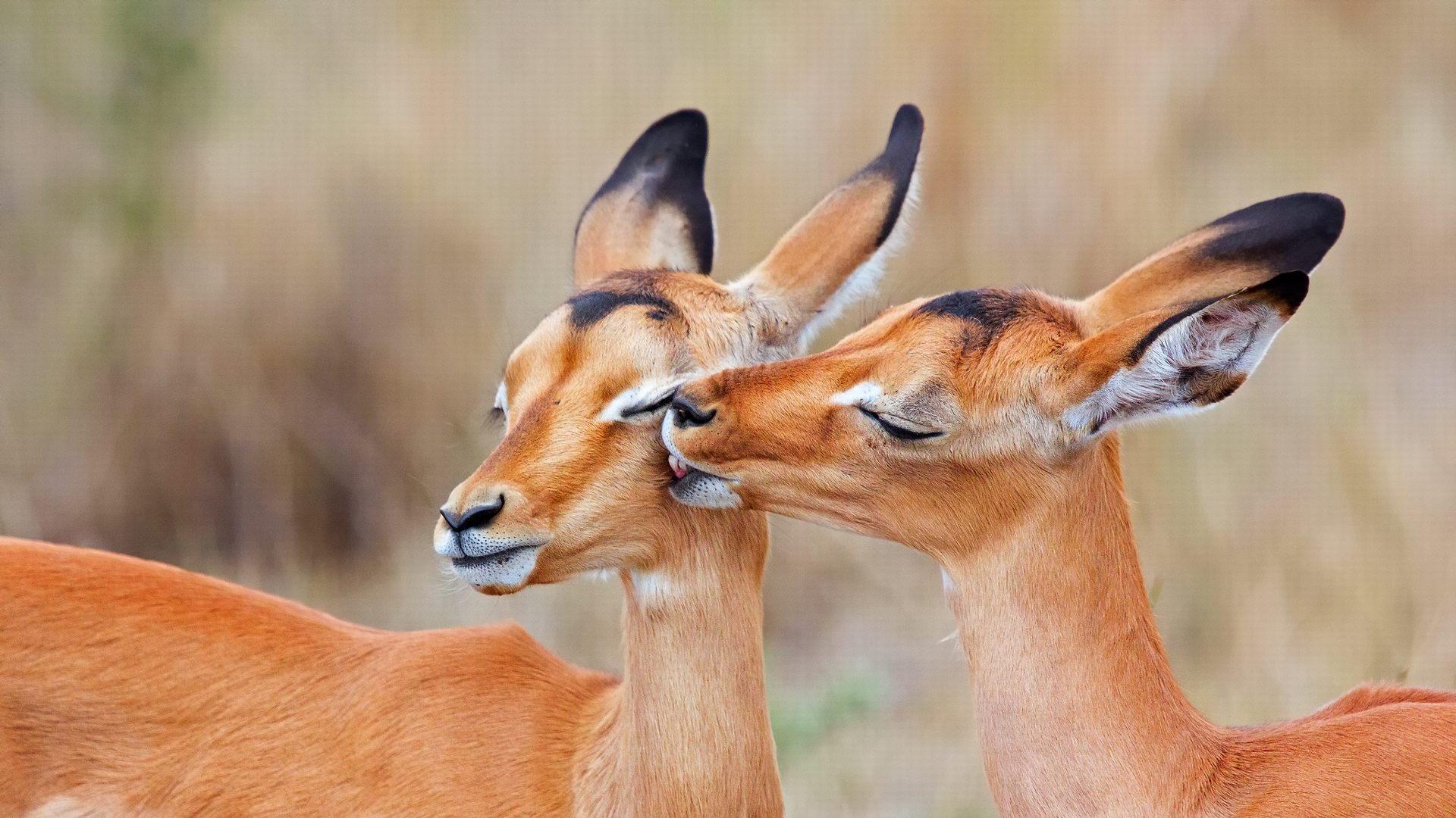 Image Gallery impala animal face